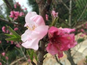 Apricot Tree-2015-III