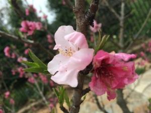 Apricot Tree-2015-IV