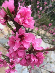 Flowering Crabapple Tree - 2015