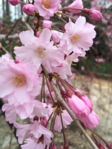Flowering Crabapple Tree II - 2015